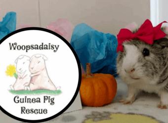 Woopsadaisy Guinea Pig Rescue