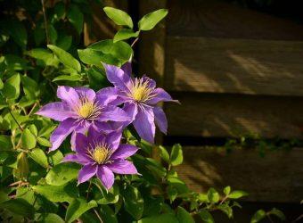 Clematis - The Aristocrat of Flowering Vines