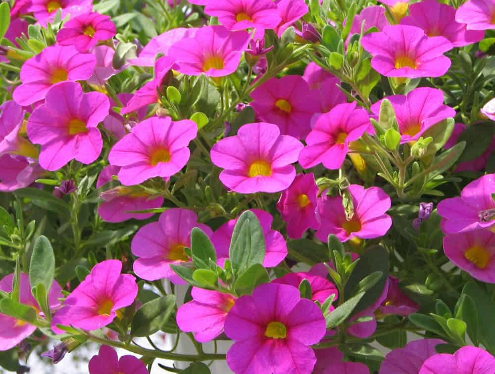 Help for those scraggly petunias