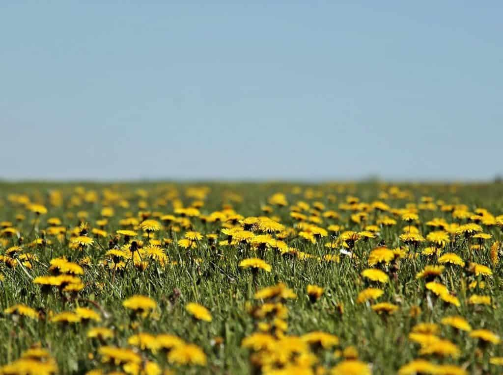 The Lowly Dandelion – The Wildflower People Love to Hate