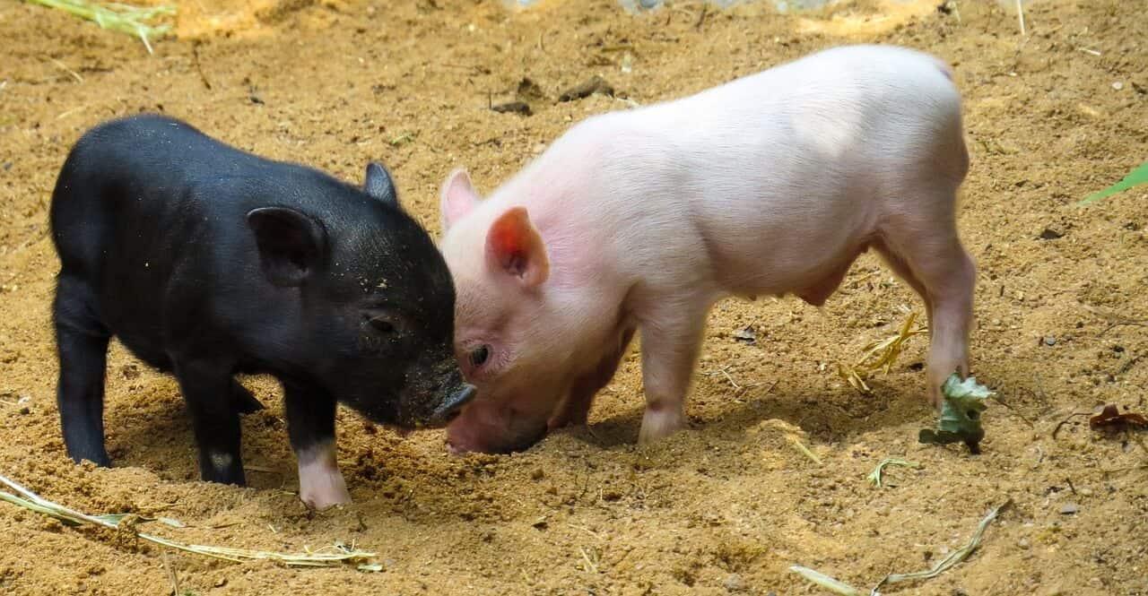 Farm Animal Strange Facts