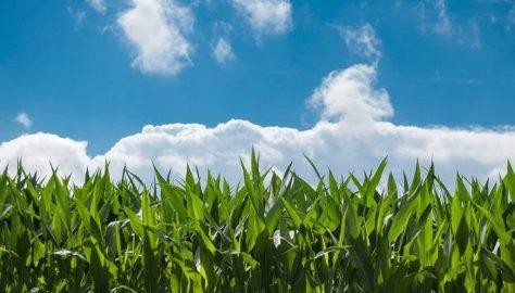 corn-field market ready