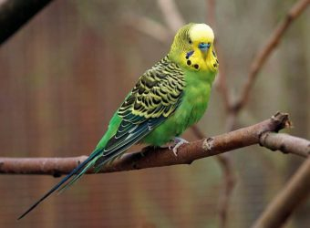 Advice on Choosing a Parakeet as a Pet