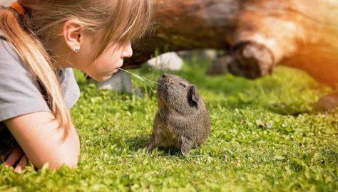 Best Pets for Kids Guinea Pig