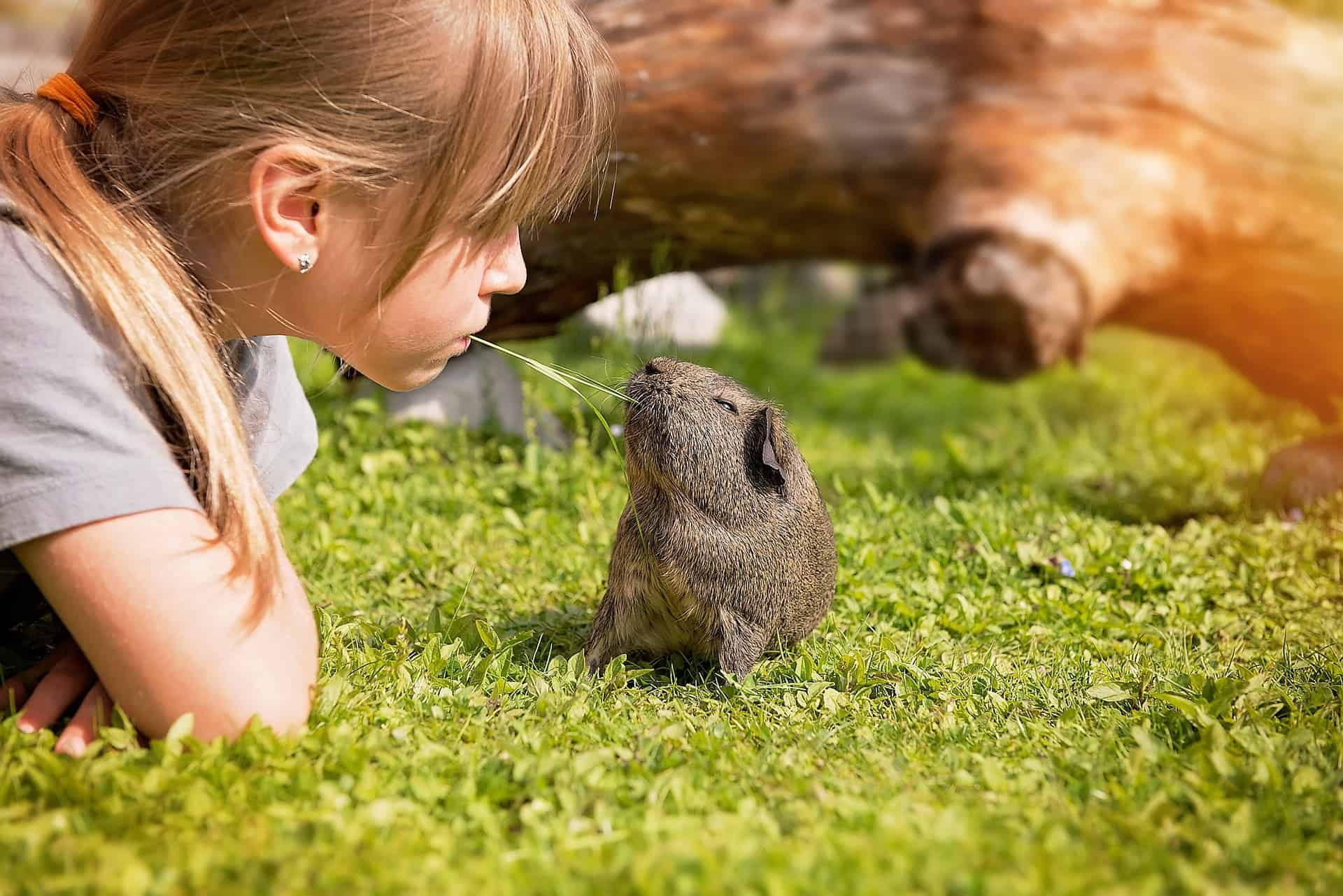 Best Pets for Kids Guinea Pig