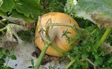 pumpkin farmer grower