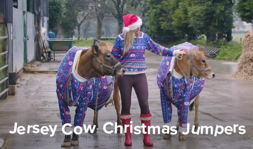 Cows celebrating the season with matching Christmas jumpers