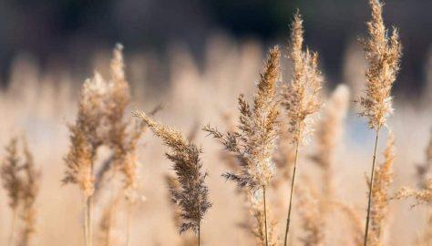 Reed Grass ornamental