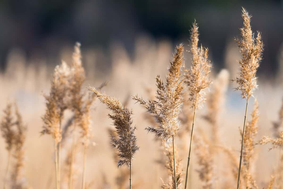 Reed Grass ornamental