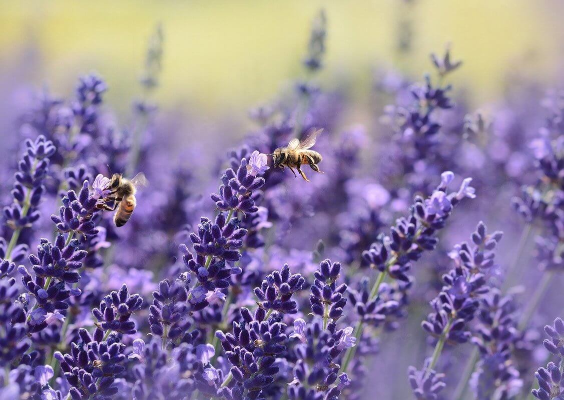 Ode to the Birds and the Bees lavender