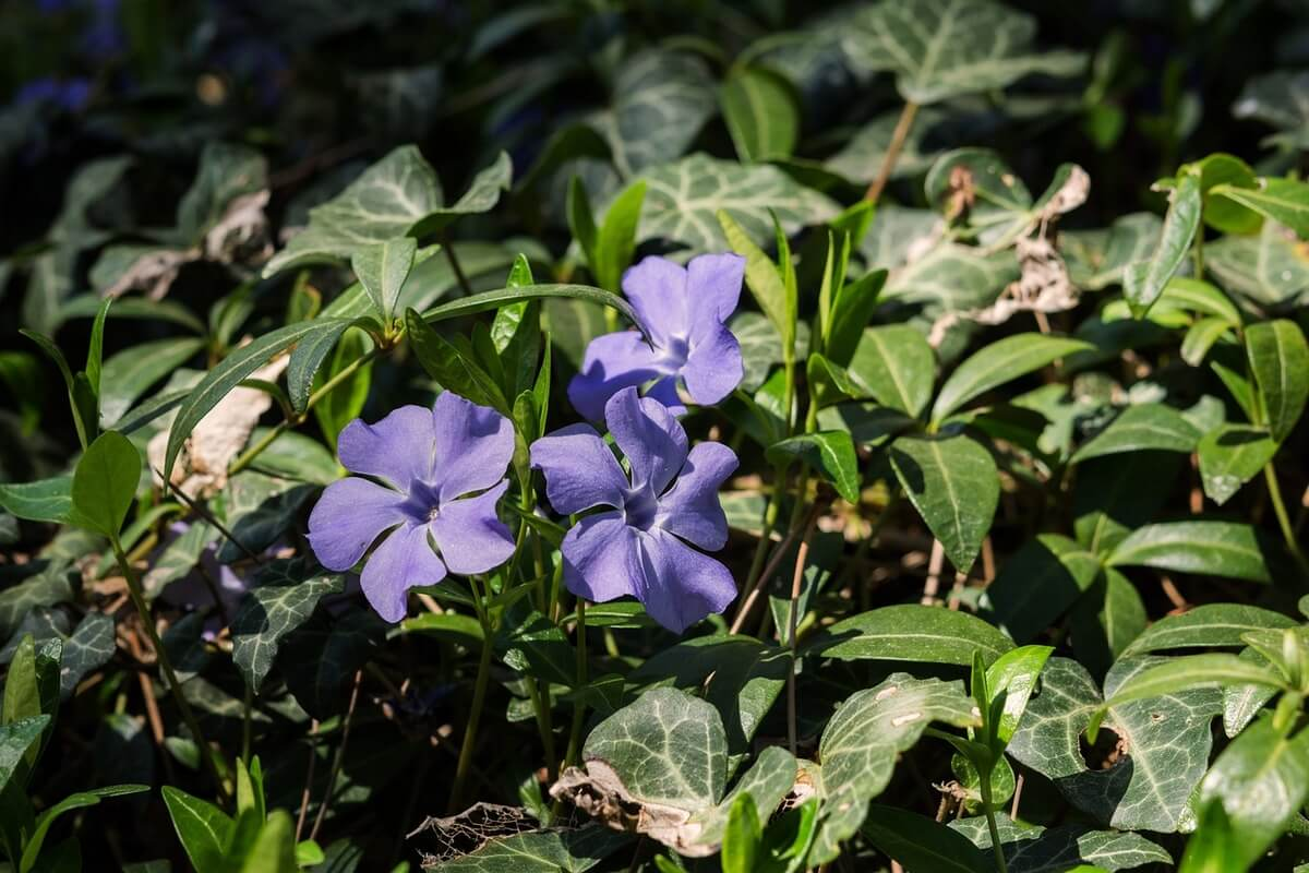 Periwinkle flowers that grow well in shade