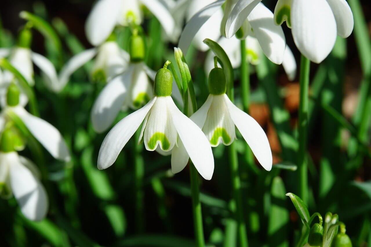 Early Glory snowdrop