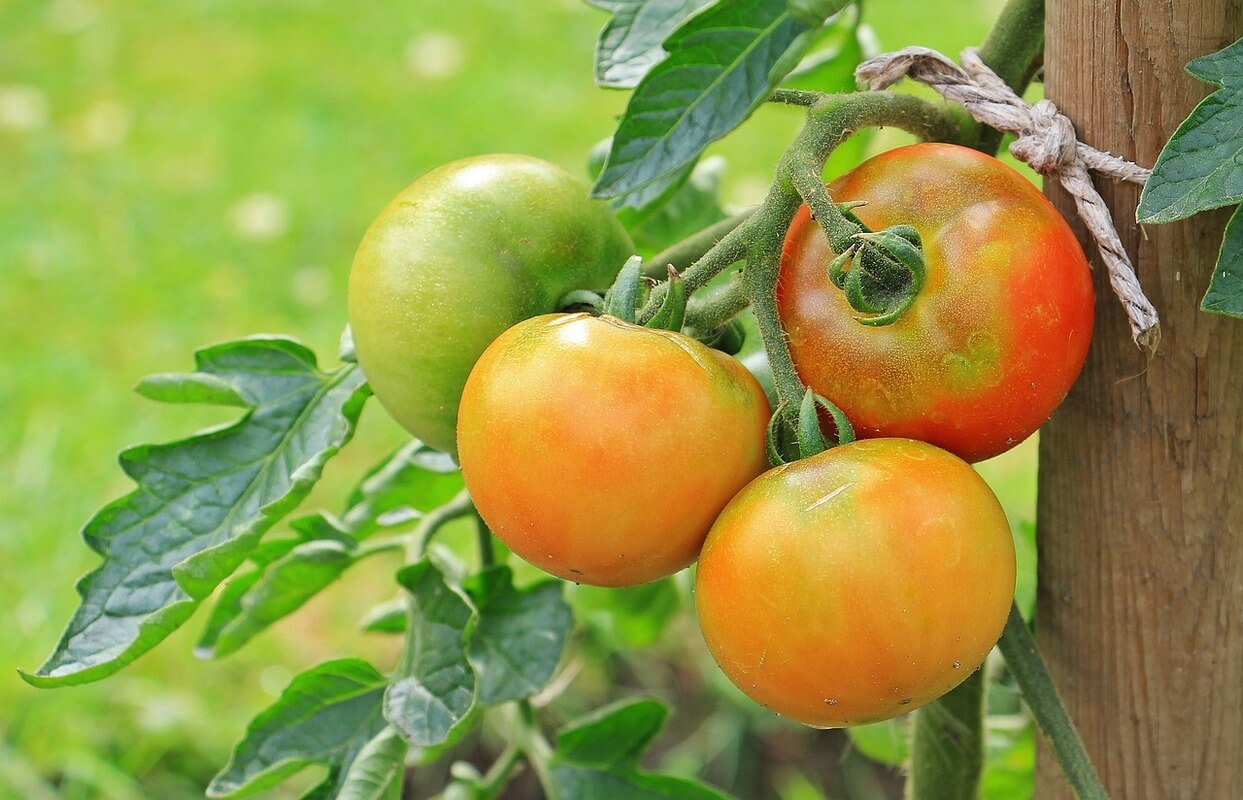 How can I grow the best tomato