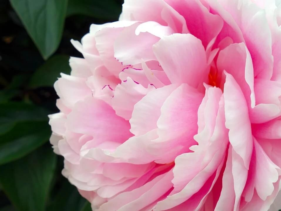 How to get peony to bloom ask gardener