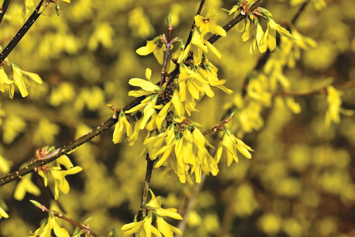 forsythia flowering tree shrub