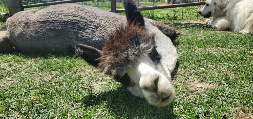 Family fun day out at Pickaway County alpaca farm