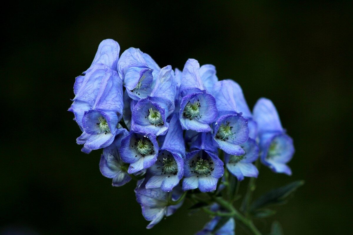 What kind of plant is Aconite that is mentioned in Harry Potter