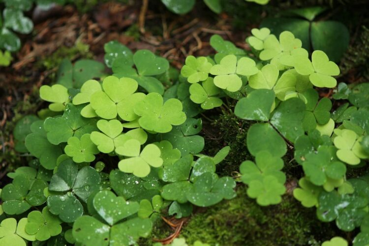 Shamrocks - The symbol of Ireland