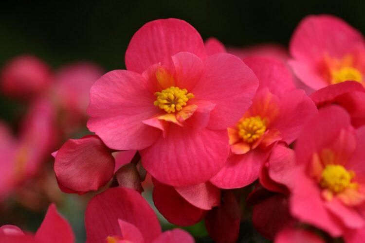 Begonias flowers in garden